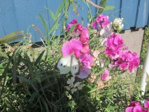 En hvit sommerfugl i erteblomstene.